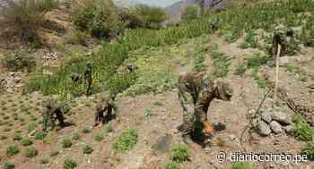 """Sinchis de Mazamari"" erradican 7 920 plantones de marihuana en Ayacucho - Diario Correo"