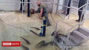 Fish rescued from evaporating lake in Sandown