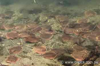 Suministran oxígeno a las manta rayas que agonizan en la bahía de Miami - Crítica