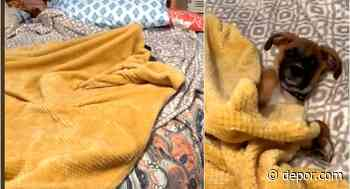 Como un humano más: perro se cubre con una manta antes de dormir y da la vuelta al mundo [VIDEO] - Diario Depor
