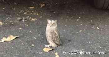 Manosque : un bébé hibou sauvé sur le parking de la place du Docteur Joubert - La Provence