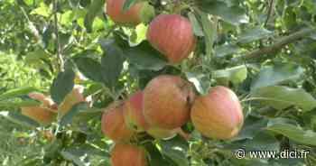 Alpes de Haute-Provence : la récolte des pommes a débuté à Manosque - D!CI