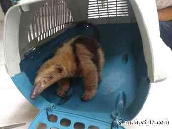 Rescatan dos osos hormigueros en San José y Arauca (Palestina) - La Patria.com