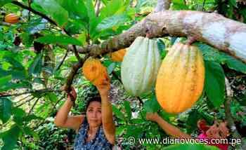 San Martín y Piura intercambian experiencias de investigación en el cultivo de cacao - Diario Voces