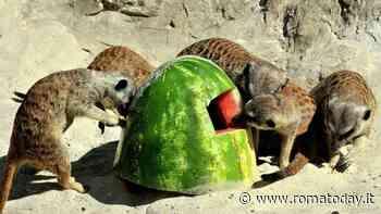 Caldo rovente al Bioparco, anguria e frutta ghiacciata per rinfrescare gli animali