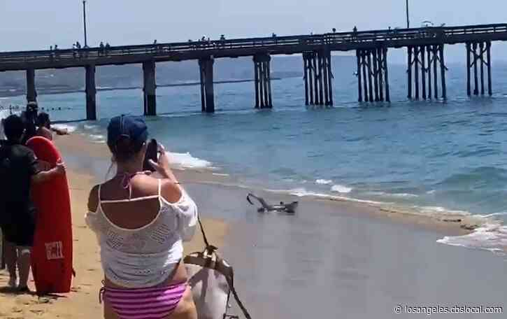 Shark Euthanized After Coming Onto Newport Beach Shore With Injuries
