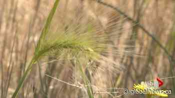 'They're like fish hooks': dangerous foxtail plant hospitalizing dogs