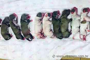 Cachorra vira-lata da à luz 16 filhotes em cesariana com duração de 2 horas - O Tempo