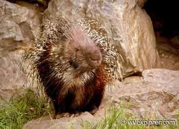 Porcupine invasion reaches into south-central West Virginia - West Virginia Explorer