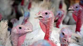 Bird flu outbreak at Bairnsdale in Victoria sees 4,000 turkeys euthanased - ABC News