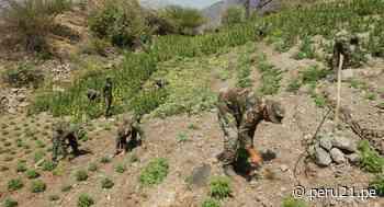"""""""Sinchis de Mazamari"""" erradican 7,920 plantones de marihuana en Ayacucho - Diario Perú21"""