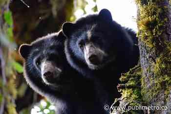 (Video) ¡Trepados en un árbol! Un par de osos de anteojos fueron vistos en Guatavita - Publimetro Colombia
