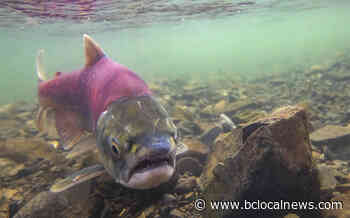 Rivers flowing into Masset Inlet will not open to traditional sockeye fishing in 2020: CHN - BCLocalNews