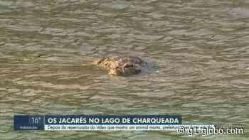 Prefeitura de Charqueada estuda remoção de jacarés de lago após morte de animal - G1