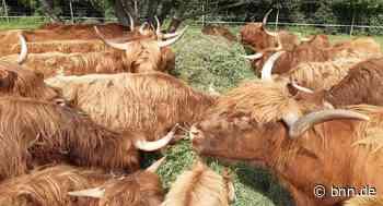 Haltung Schottischer Hochlandrinder in Stutensee steht vor dem Aus - BNN - Badische Neueste Nachrichten