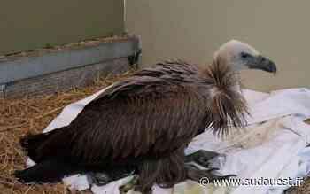Bassin d'Arcachon : un vautour égaré recueilli à Audenge - Sud Ouest