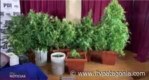 En Puerto Natales detienen a un hombre que mantenía en su casa un cultivo de marihuana - ITVNoticias