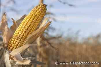 Inundaciones en Chimá (Córdoba) ponen en riesgo al pueblo y a mil hectáreas de cultivos de maíz - El Espectador