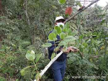 Amazonas: Producirán plantones de quina en Luya y Chachapoyas - INFOREGION