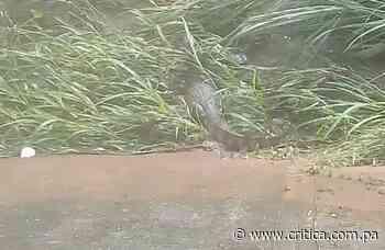 Temor en Valle Hermoso de Nuevo Arraiján con un cocodrilo (Video) - Crítica