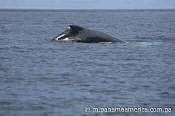 Pedasí se prepara para los avistamientos de ballenas - Panamá América