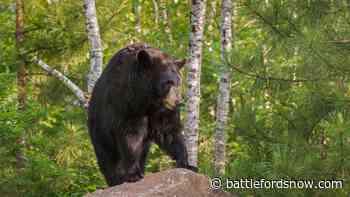 Woman dies after bear attack north of Buffalo Narrows - battlefordsNOW
