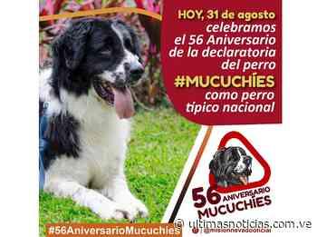 Nuestro Mucuchíes cumple 56 años de ser declarado Perro Nacional - ultimasnoticias.com.ve