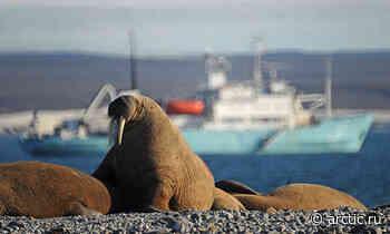 Walrus population in Pechora Sea in decline - Arctic.ru