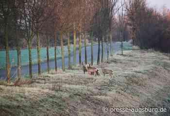 Mehrere Wildunfälle im Landkreis Dillingen an der Donau - Presse Augsburg