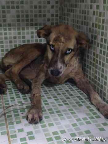 Rescatan cachorra en Itacurubí de la Cordillera e imputan a mujer que faenaba perros para consumo - launion.com.py
