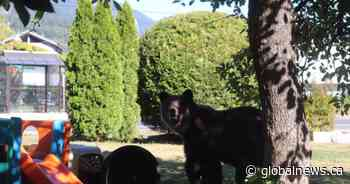 Large healthy grizzly bear spotted in Squamish B.C. neighbourhood will be relocated