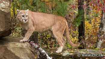 Cougar swipes at dog near Coquitlam Crunch, says B.C. Conservation Officer Service