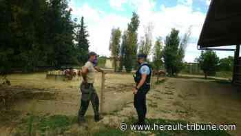 MEZE - Protection des équidés : La gendarmerie est fortement mobilisée pour enrayer les agressions - Hérault-Tribune