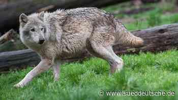 Grenzgebiet Bayerischer Wald-Böhmerwald: Zweites Wolfsrudel - Süddeutsche Zeitung
