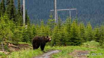 Public warned to avoid North Creek Trail near Pemberton after grizzly attack