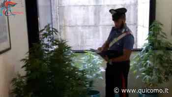 Coltivazione di marijuana casalinga: arrestato 38enne di Locate Varesino e denunciato il suo aiutante - QuiComo