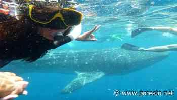 Amplían el plazo para avistar al tiburón ballena en Isla Mujeres - PorEsto