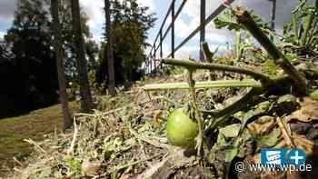 Tomaten an der Hönne: Tausende Pflanzen in Menden abgemäht - WP News