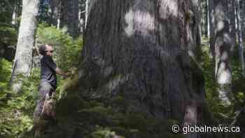 Environmentalists plan to continue old growth logging blockades