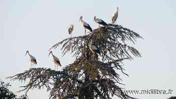 Les cigognes sont aussi passées par Castries - Midi Libre