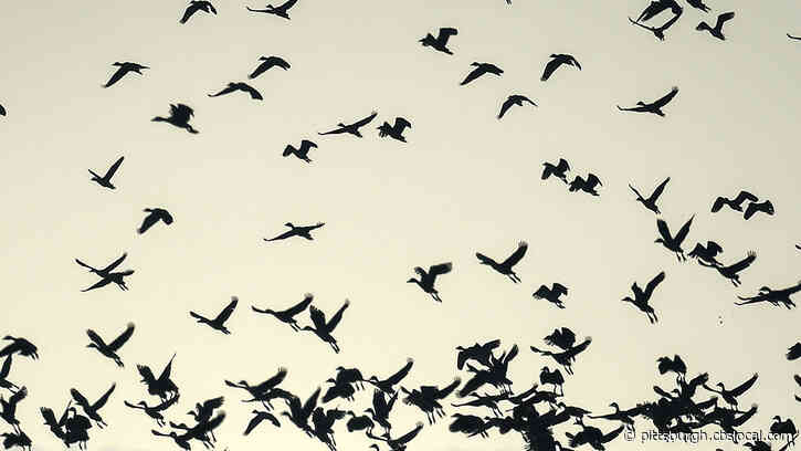 Thousands Of Birds To Fly Over Pittsburgh Area On Monday Night During Mass Migration