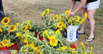 Sunflowers for scholarships -- Wauconda Garden Club finds fundraising alternative