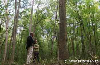 La forêt de Chantilly se meurt... et devient un labo géant pour sauver les arbres de France - Le Parisien