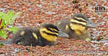 EN VIDEO: Bebés de aves convierten en guardería los humedales de Tocancipá - Semana