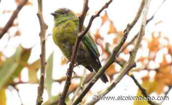 Un nuevo pájaro vuela sobre el alto de San Miguel en el sur del Aburrá - El Colombiano