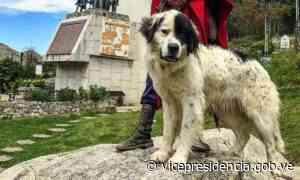 El Mucuchíes celebra 56 años de ser declarado como Perro Típico de Venezuela - Vicepresidencia