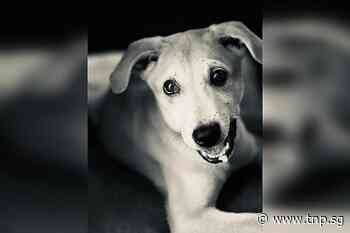 No breach found in euthanasia of Loki the dog: AVS - The New Paper