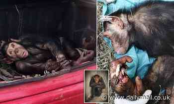 Chimpanzee is recused from the boot of a car in Angola