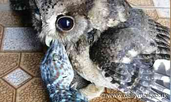 Disturbing moment baby owl clamps starts eating a live gecko
