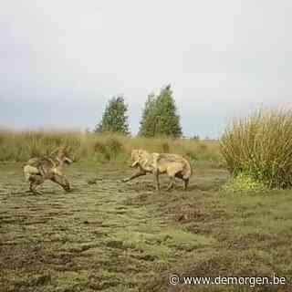 Nieuwe beelden van drie ravottende wolvenwelpjes